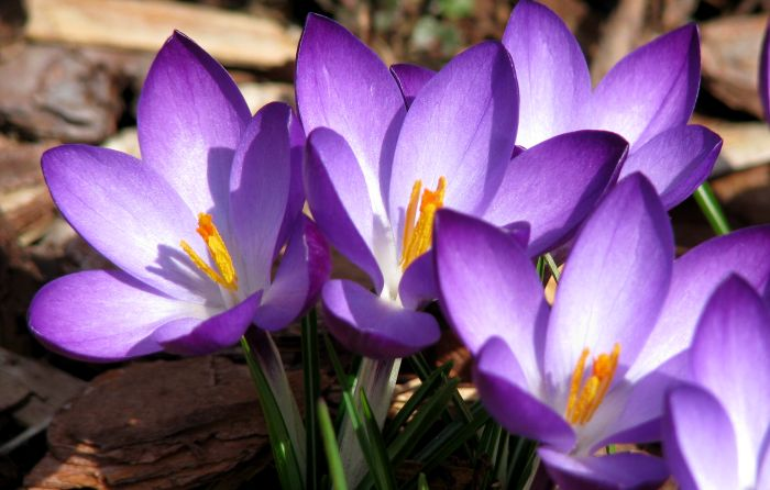 Purple Crocuses - Photo by Marg Herder