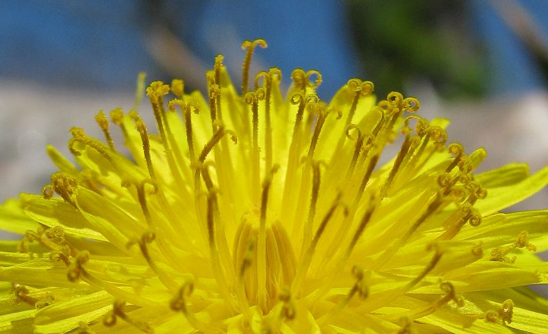 Dandelion - Photo by Marg Herder