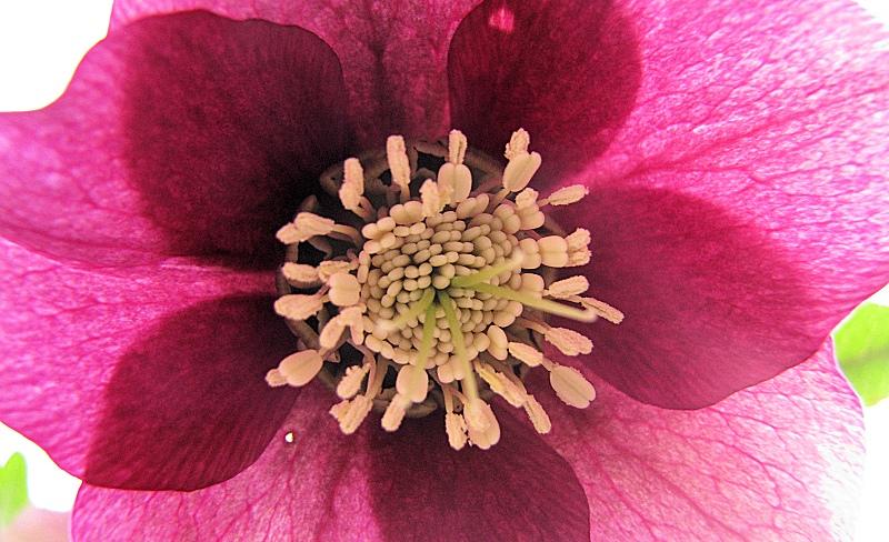 """""""Lenten Rose"""" - Photo by Marg Herder"""