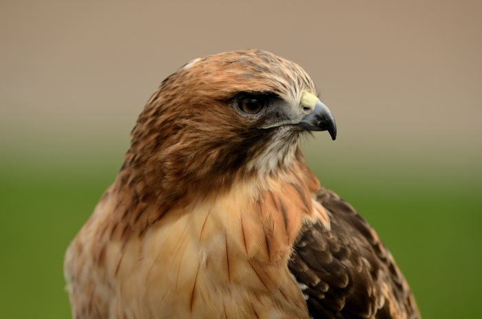 Red Tailed Hawk - Photo by 44kmos