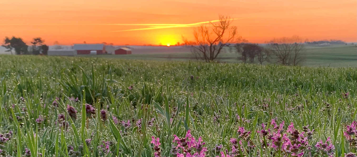 Orange sunset over a field of green grasses and purple flowers