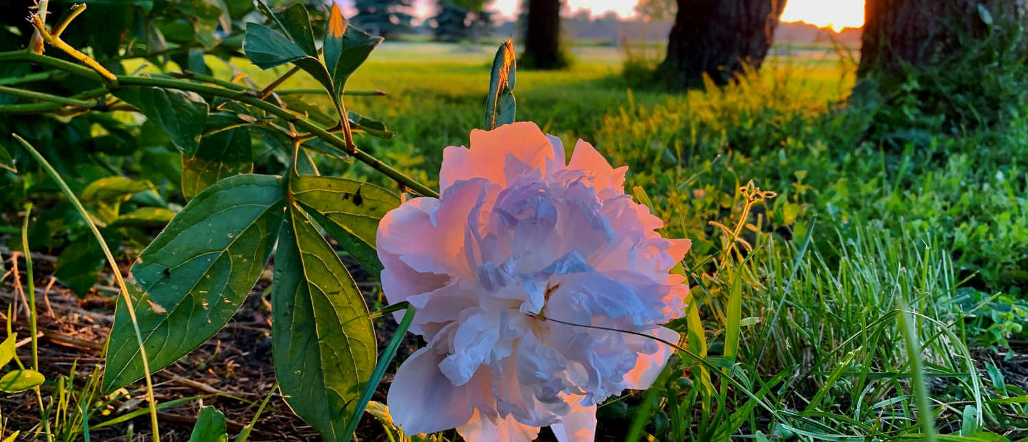 A flower lighted by the colors of the sunset against a background of green grass